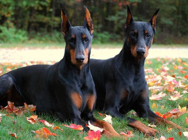 Самые умные породы собак. доберман