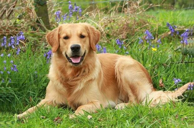 Золотистый Ретривер. Самые умные собаки
