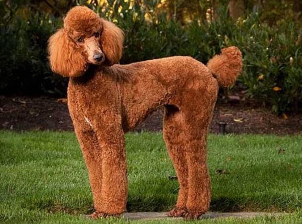 Самые умные породы собак. пудель
