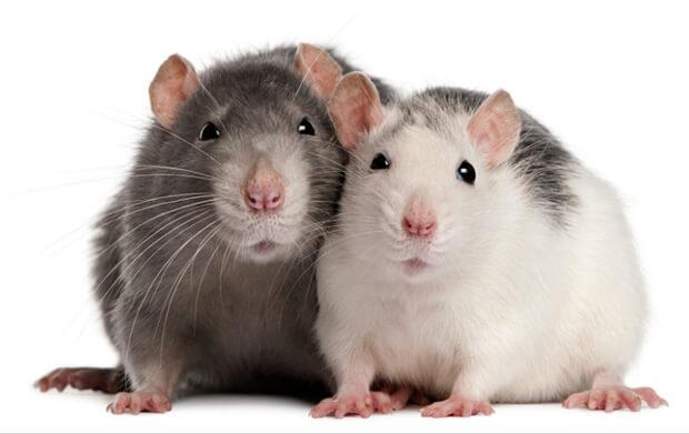 Самые умные животные в мире. Крысы.