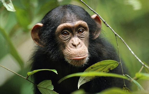 Самые умные животные в мире. Шимпанзе.