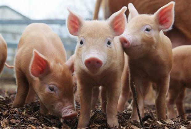 Самые умные животные. Свиньи.