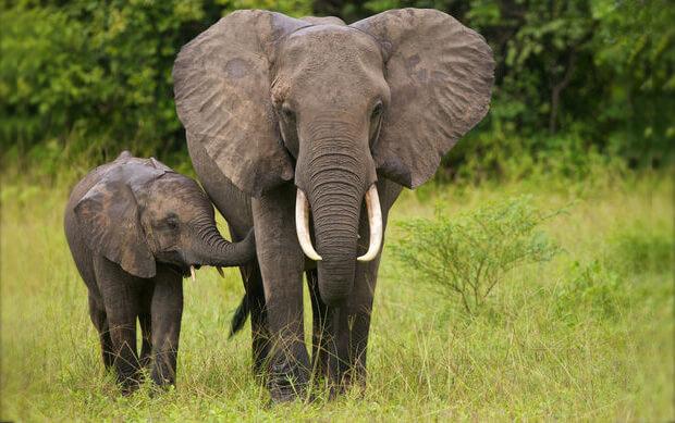 самые умные животные в мире. слоны.
