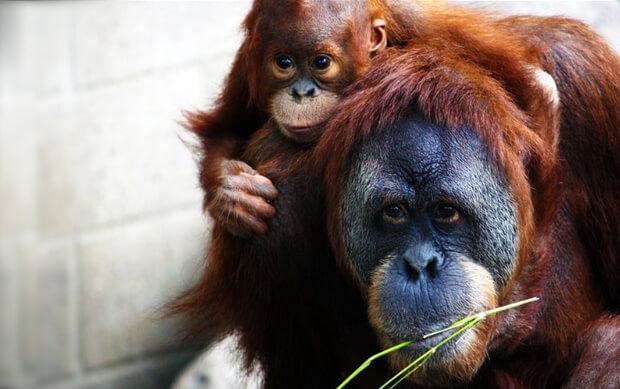 Самые умные в мире животные. Орангутаны.