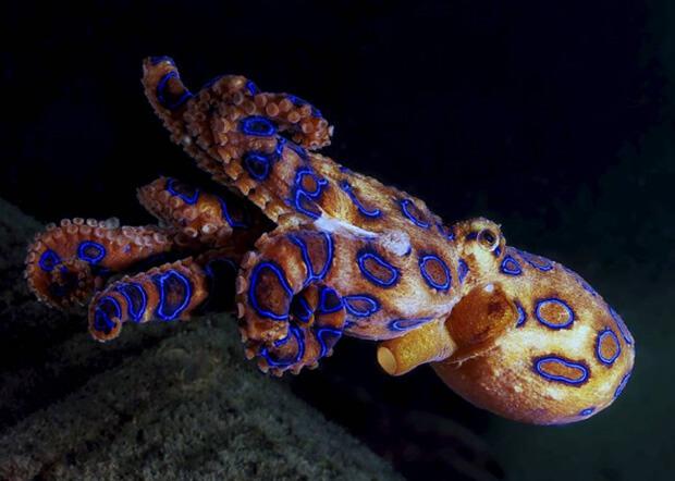Самые ядовитые животные в мире. Сине-кольчатый осьминог (Blue-ringed octopus)
