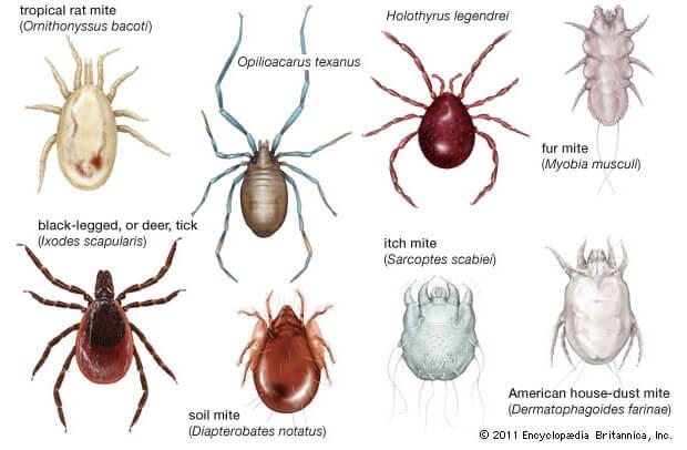Самые опасные насекомые в мире. Клещи.