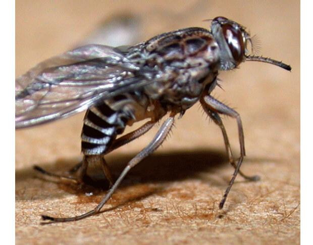 Самые опасные насекомые в мире. Муха Цеце.