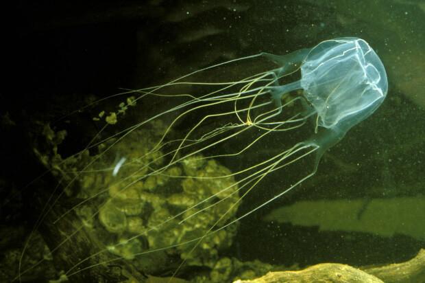 Кубомедуза (Вox Jellyfish). Самые опасные морские животные.