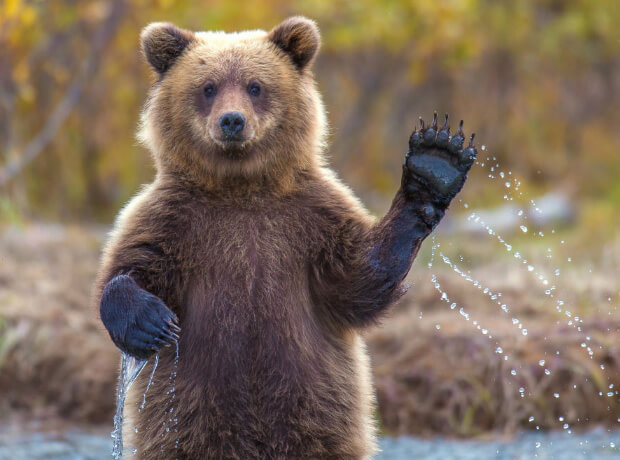 Самые опасные животные в мире. Топ-10. Медведь Гризли.