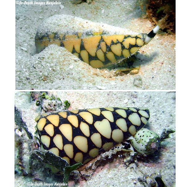 Улитка конус (Сone snail). Самые опасные морские животные.
