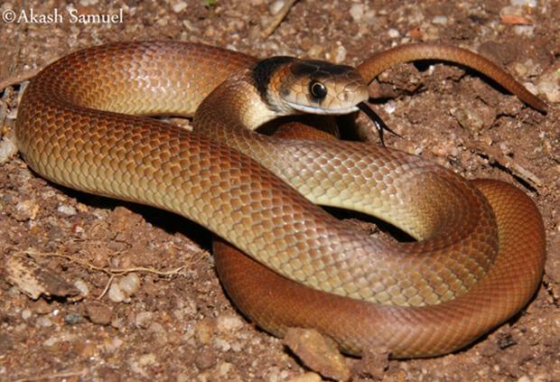 Самые опасные животные в мире. Топ-10. Восточная коричневая змея.