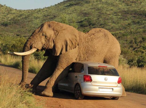 Самые опасные животные в мире. Топ-10. Слон.