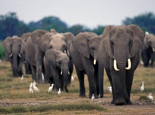 Самые опасные животные в мире. Топ-10. Слоны.