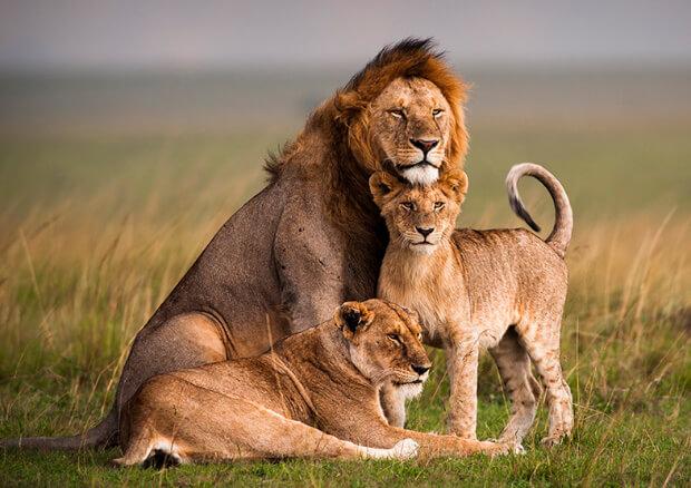 Самые опасные животные в мире. Топ-10. Лев.
