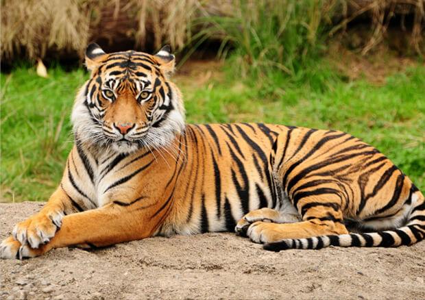 Самые опасные животные в мире. Топ-10. Тигр.