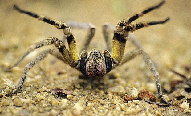 Самые ядовитые животные в мире. Бразильский странствующий паук (Brazilian wandering spider)