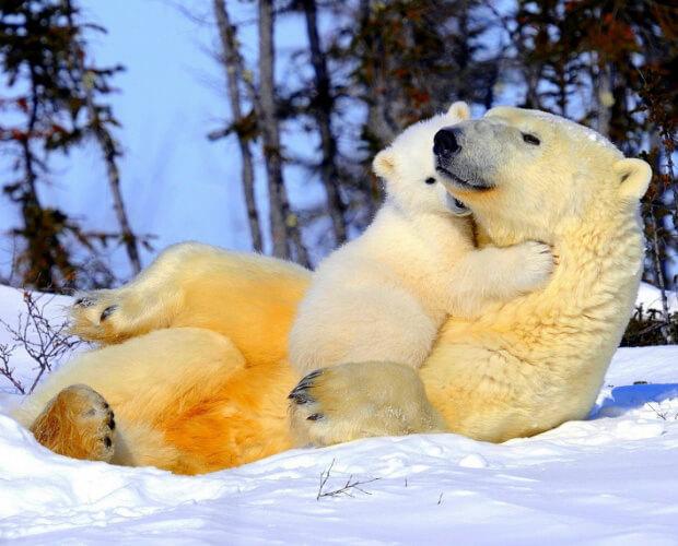 Самые опасные животные в мире. Топ-10. Белая медведица с детенышем.