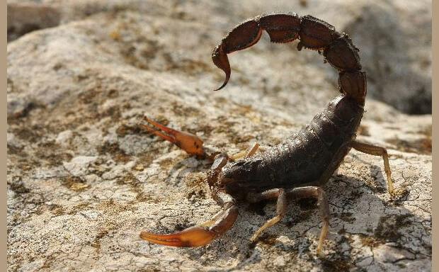Самые ядовитые животные в мире. Скорпион (Scorpio)
