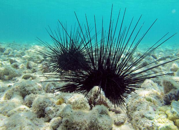 Самые опасные морские животные. Морской еж.