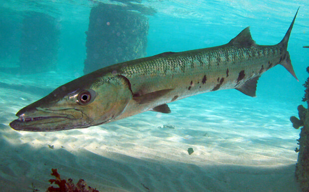 Самые опасные морские животные. Барракуда.