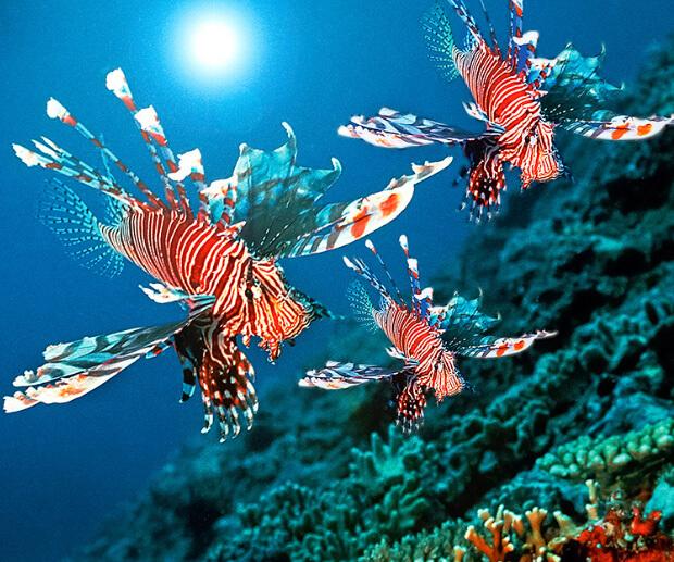 Крылатка – зебра (Red lionfish). Самые опасные морские животные.