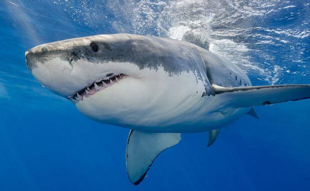 Самые опасные морские животные. Акула (Shark)