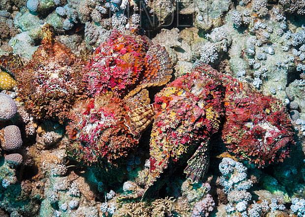Самые ядовитые животные в мире. Рыба-камень (Stone fish)