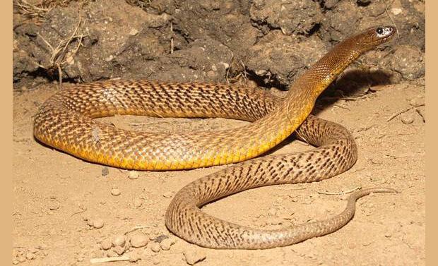 Самые ядовитые животные в мире.Тайпан Маккоя (Inland taipan (Oxyuranus microlepidotus)