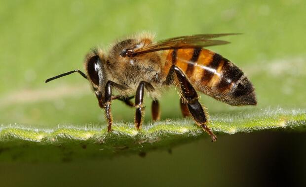 Самые опасные насекомые в мире. Топ-5. Пчела Apis mellifera scutellata.