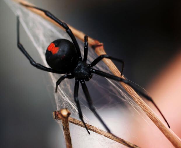 Каракурт или Черная вдова (Black Widow). Самые ядовитые животные в мире.