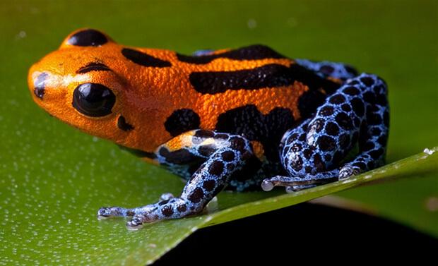 Самые ядовитые животные в мире. Лягушка древолаз и листолаз (Poison dart frog)