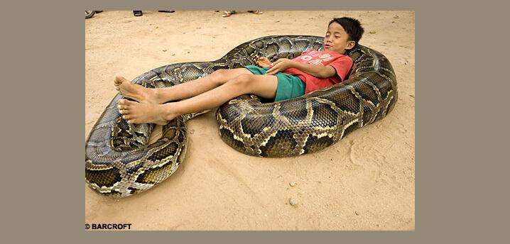 Самые большие животные в мире. Мальчик играет с сетчатым питоном.