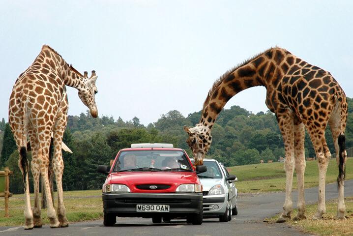 Жираф. Самые большие животные в мире.