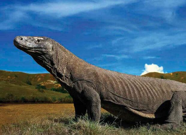 Комодский дракон.