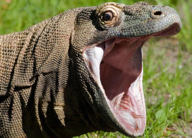 Самая большая ящерица в мире - Комодский варан