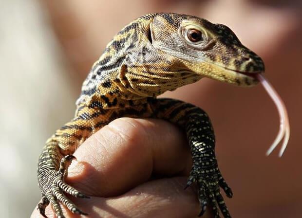 Самая большая ящерица в мире - Комодский варан. детеныш.