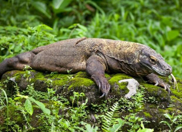 Самая большая ящерица в мире - Комодский варан.