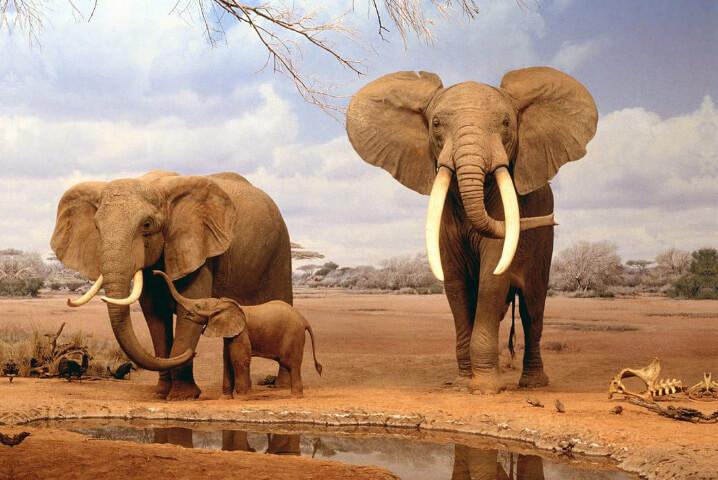 Саванный слон. Самые большие животные.