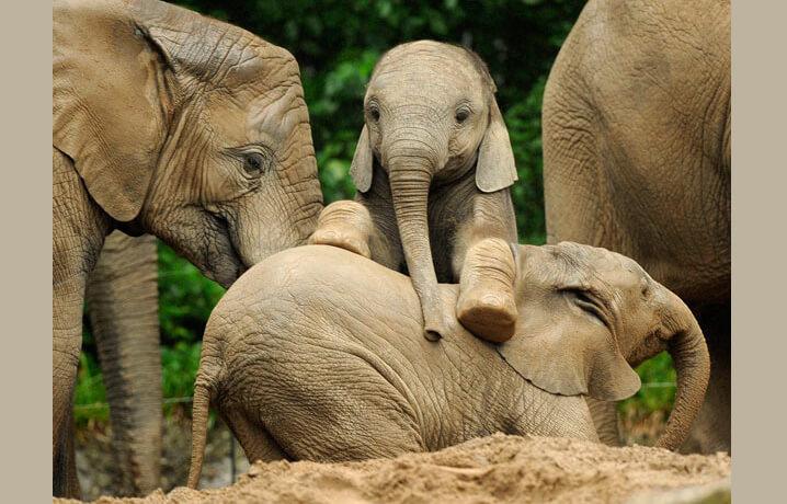 Слонята Африканского слона.