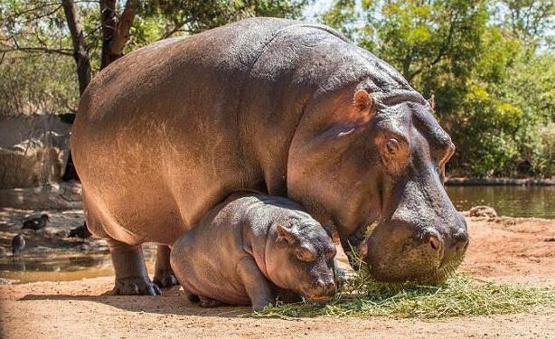 Бегемот. Самые большие животные.