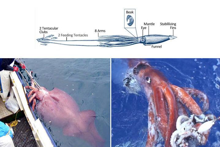 Колоссальный кальмар. Самые большие животные в мире