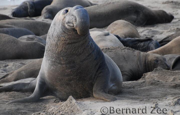 Морской слон. Самые большие животные в мире.