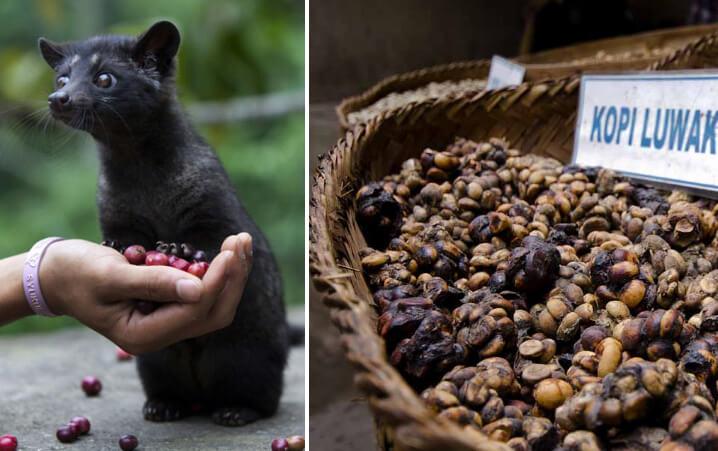 Копи Лувак. Самое дорогое в мире кофе. Kopi Luwak.