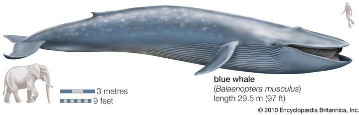Синий Кит – самое большое животное на свете