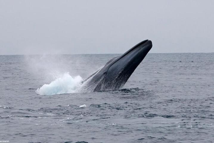 Синий кит - самое большое животное в мире.