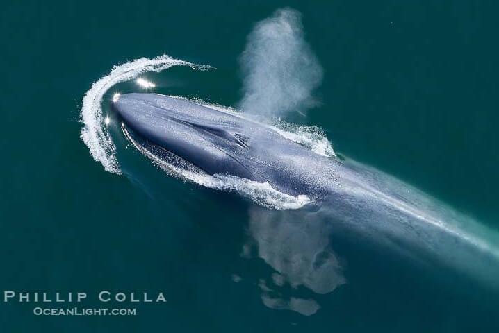 Синий кит. Самые большие животные.
