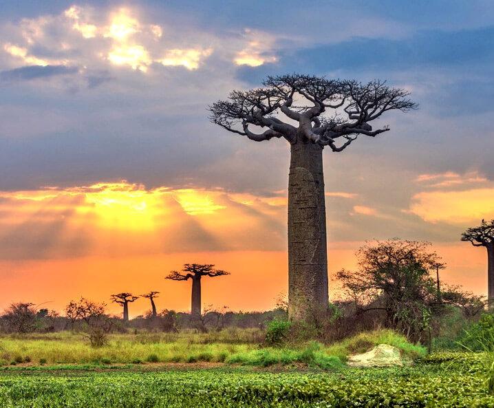 Деревья Баобаб, Африка