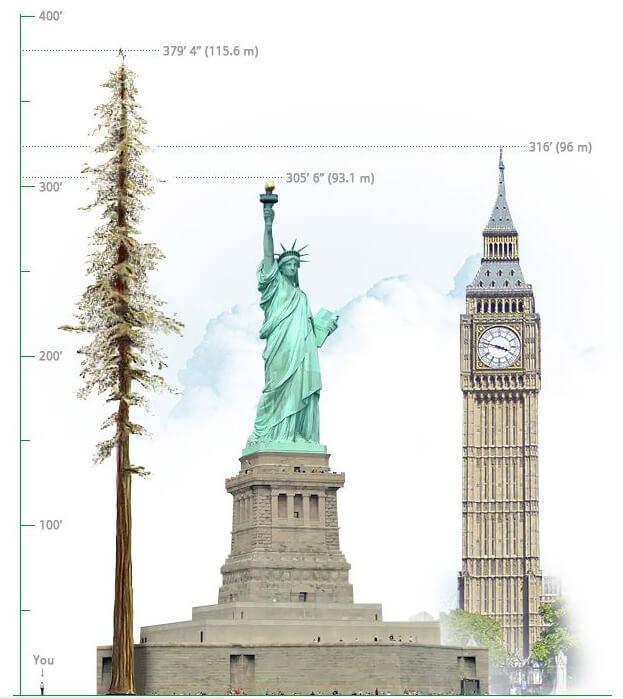 Гиперион — экземпляр секвойи вечнозелёной (Sequoia sempervirens)