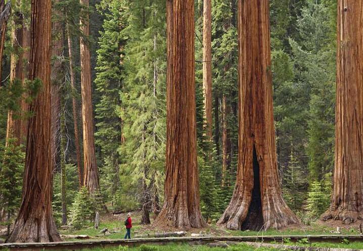 Секвои в парке Редвуд, Калифорния