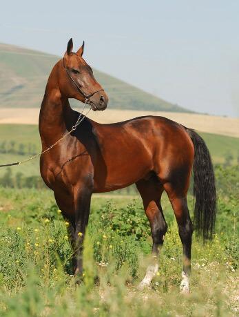 Ахалтекинская лошадь, самые красивые животные
